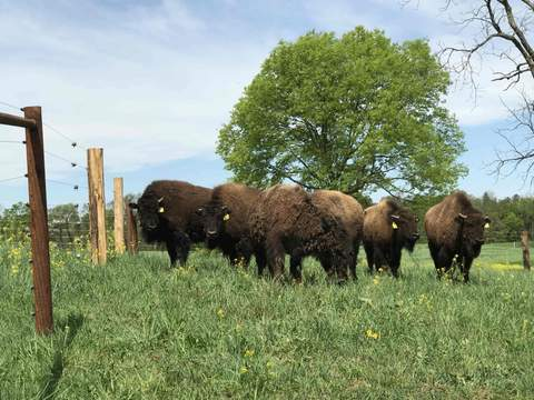 bison_herd_large